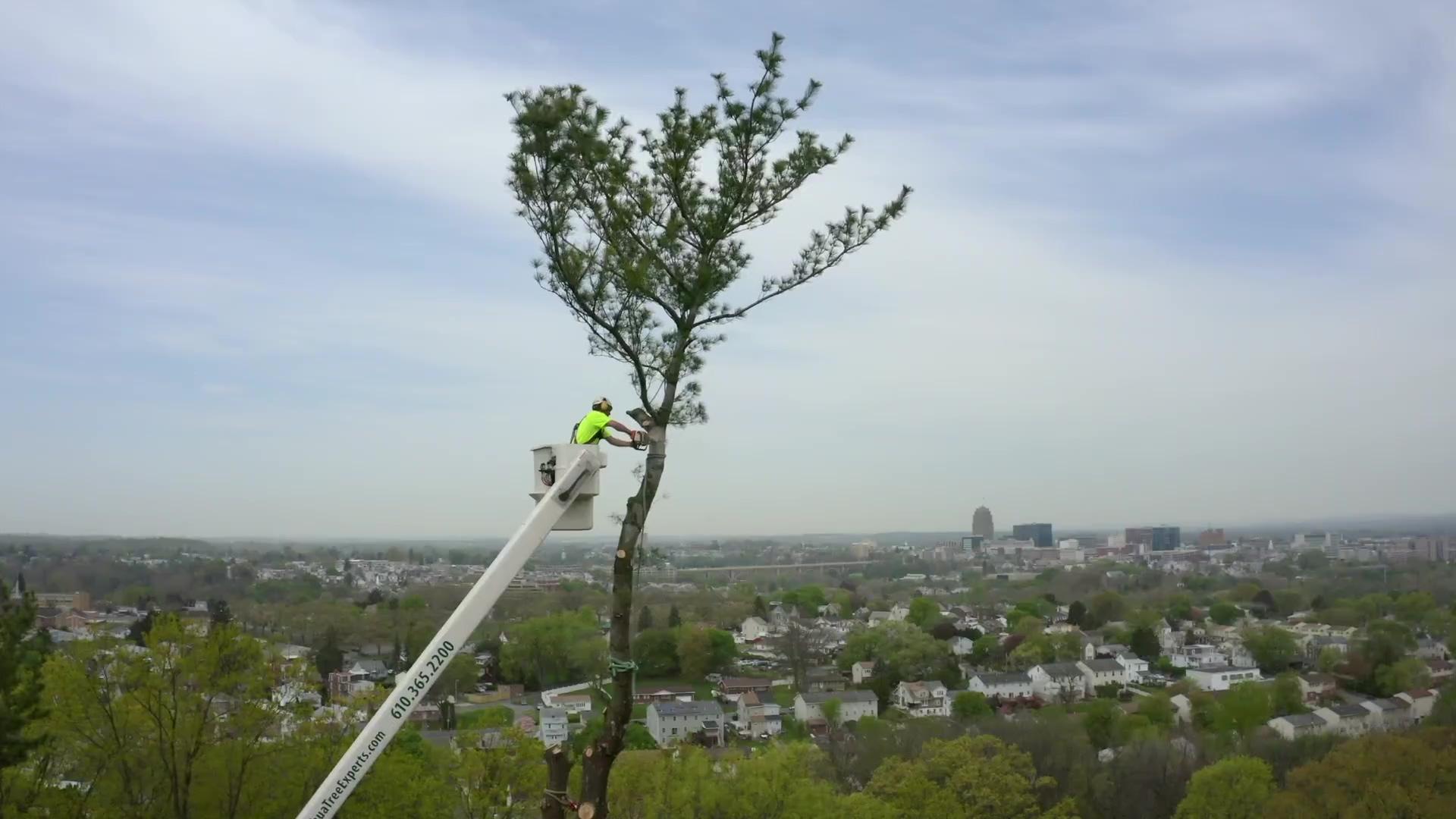 Joshua Tree - Tree Removal