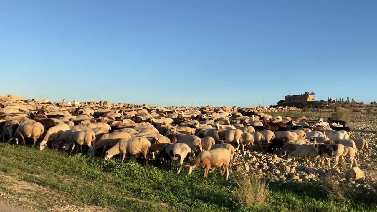 Andalucian Sheep