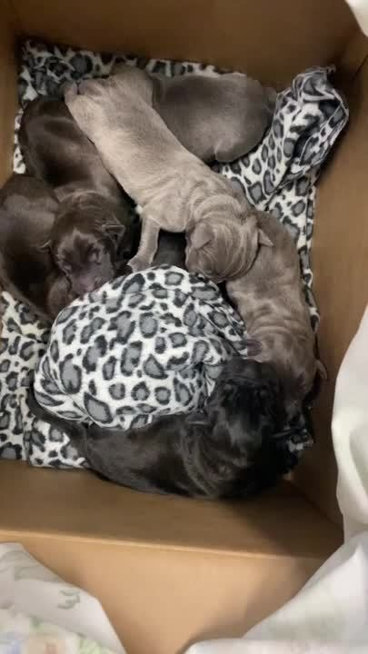 Almost World Record Breaking Litter of 21 Puppies Born (1)