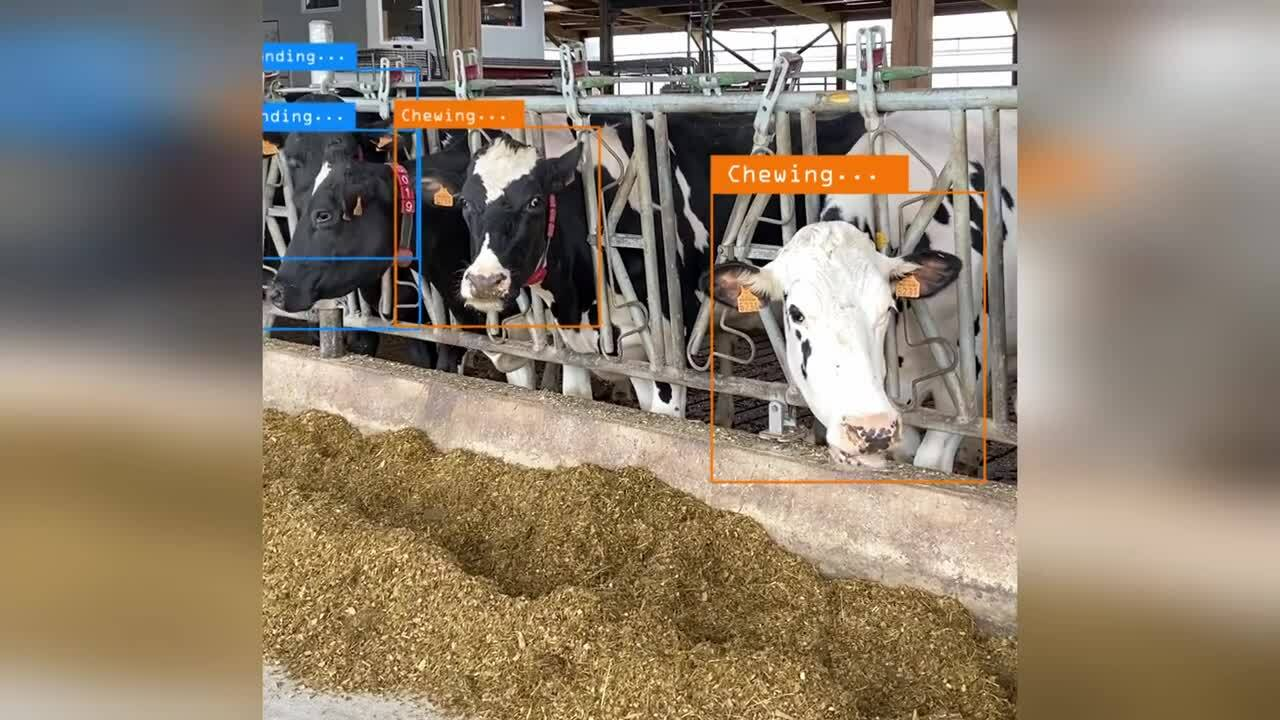 activity-cows-tracking