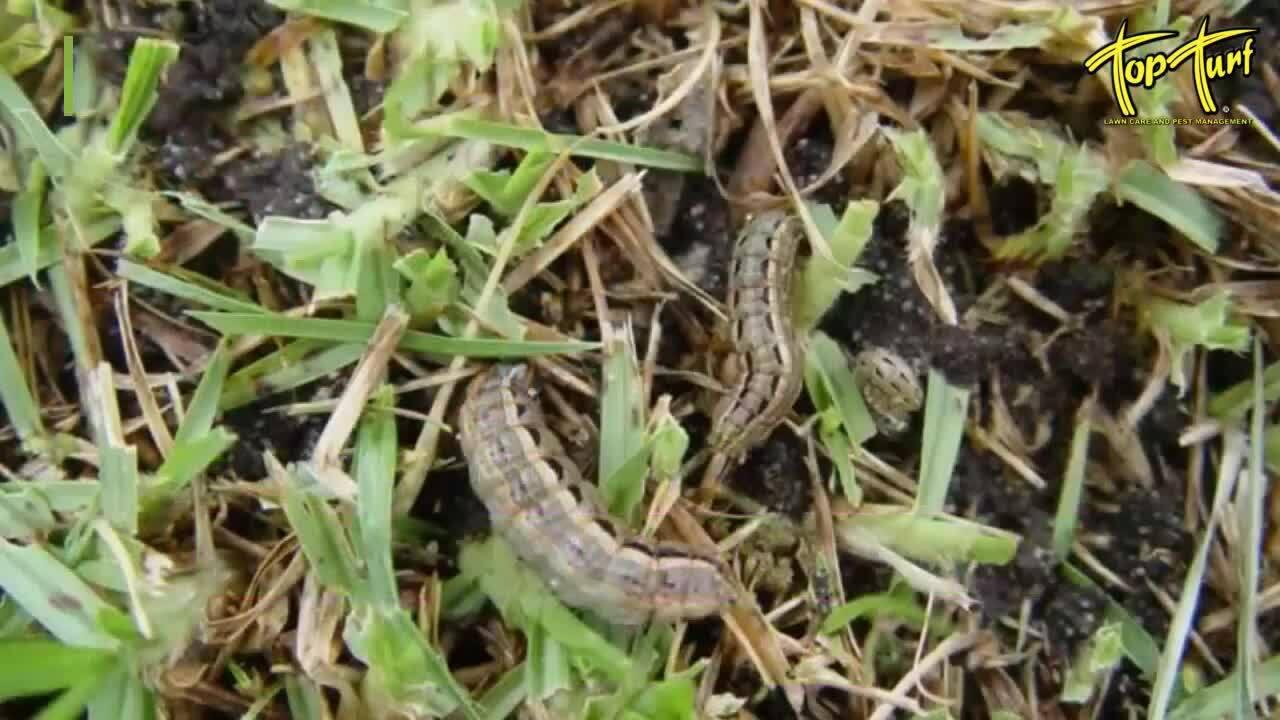 armyworms-and-grubs (1)-1