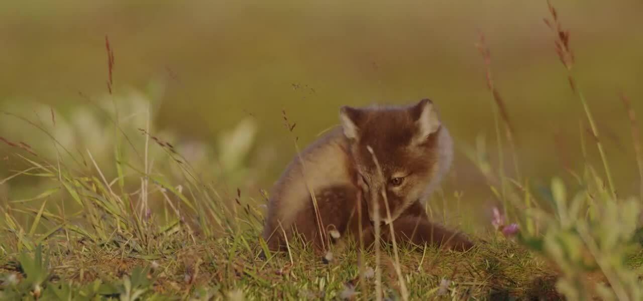 Arctic Fox Wildlife Page Loop