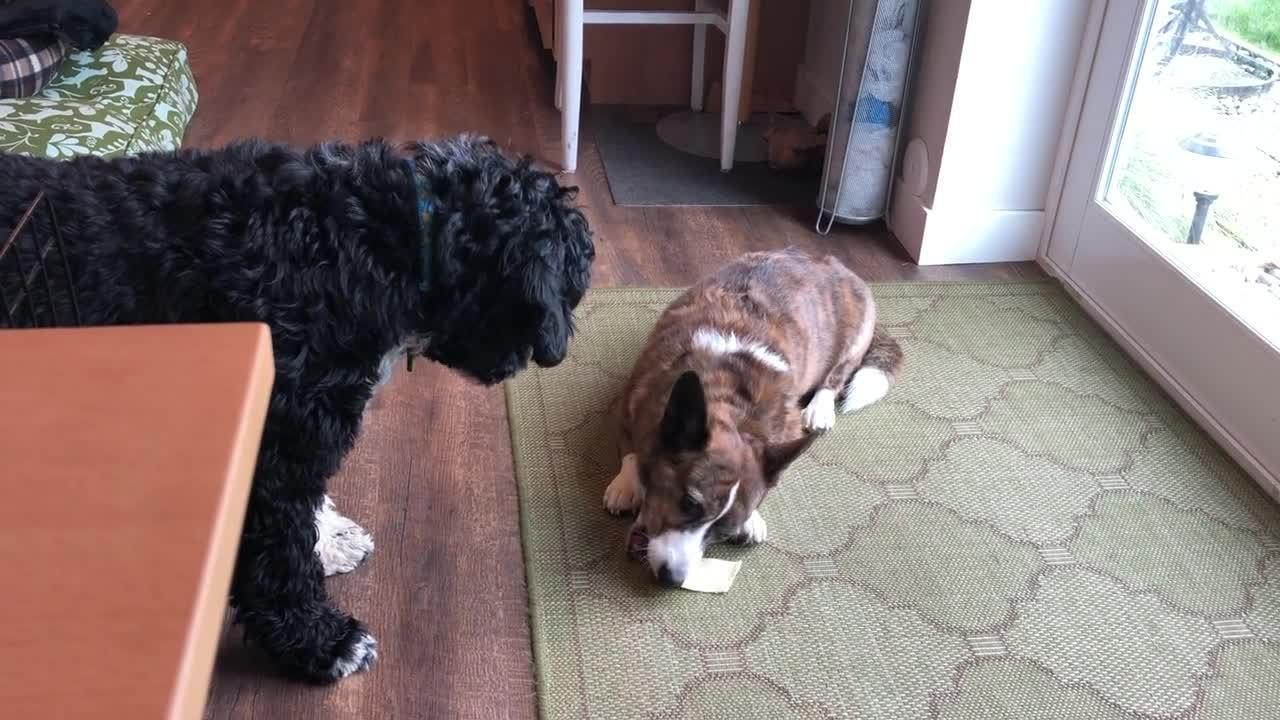 sookie guarding chew