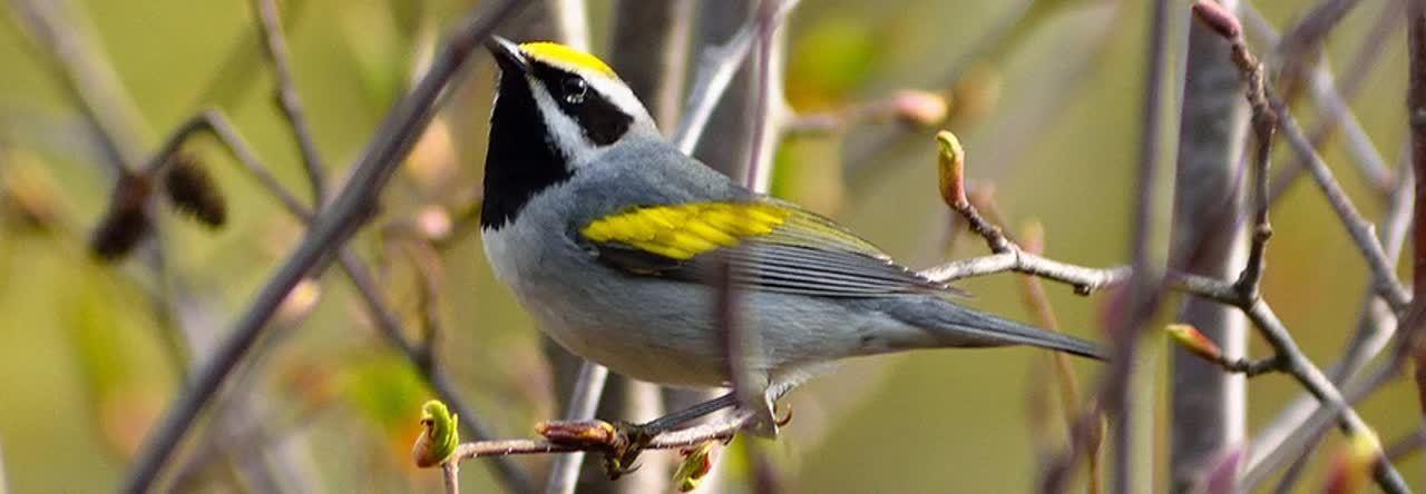 migratory_song_birds