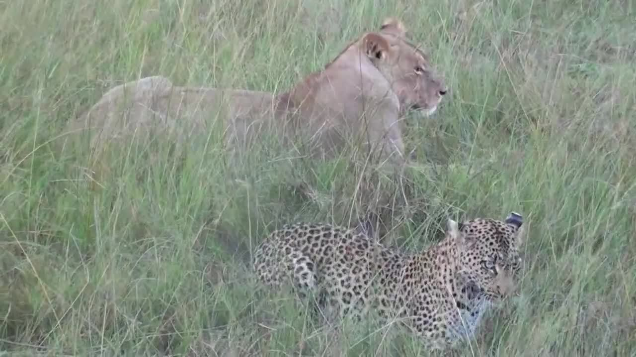 Leopard and lion video