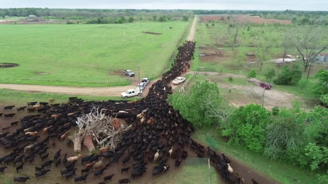 WOP-cattle-impact