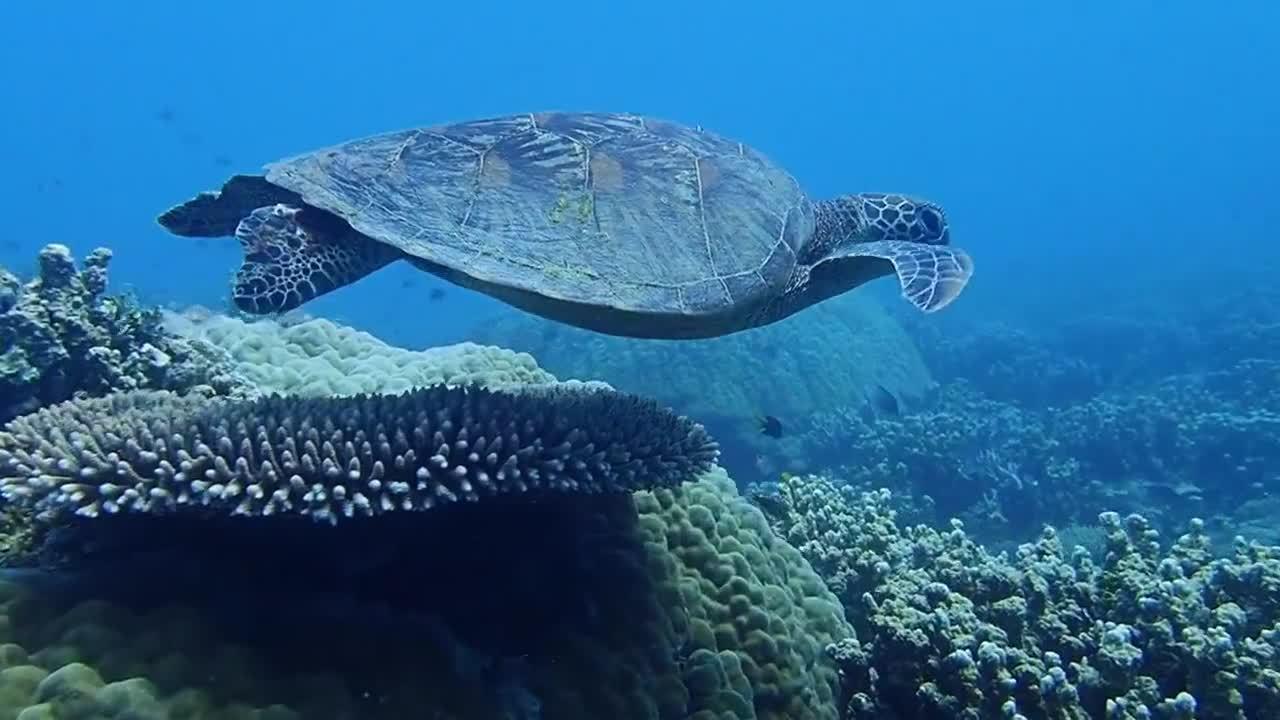 zoom-turtle