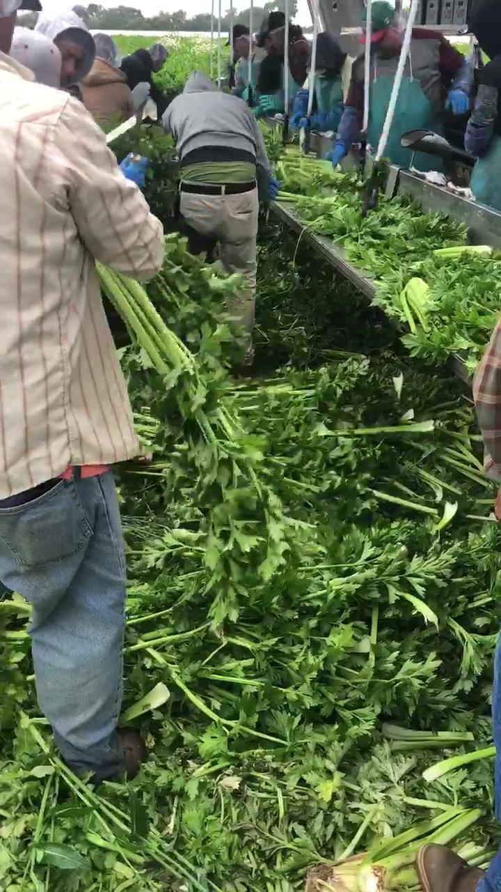 Celery Harvest Full Harvest