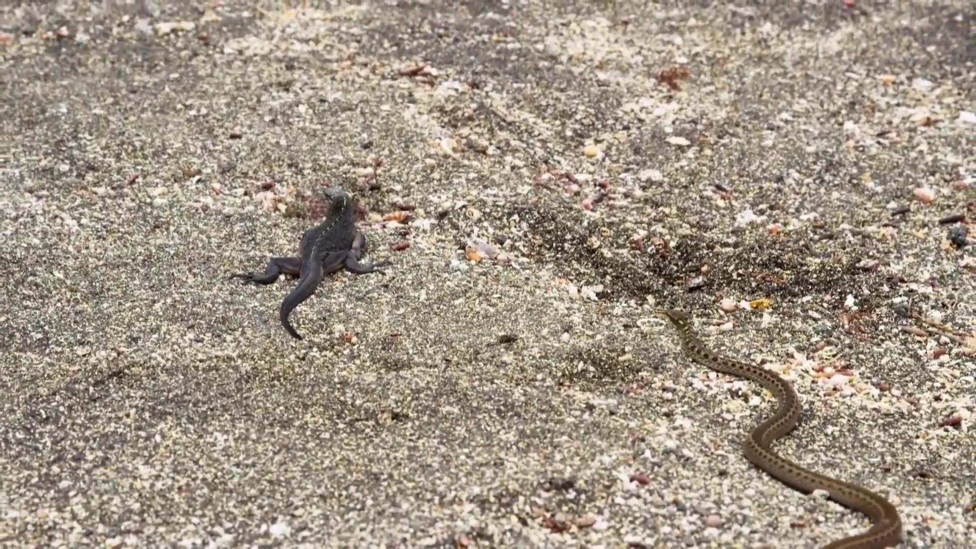 BBC Earth II - Iguana vs Snakes