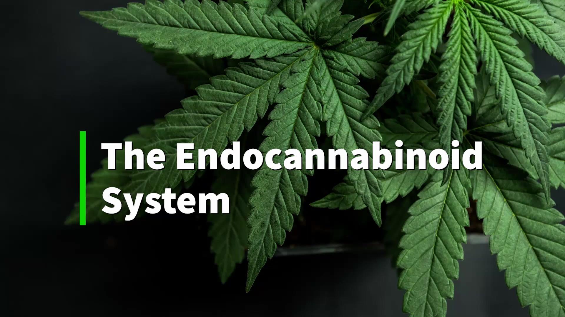 the-endocannabinoid-system-explained