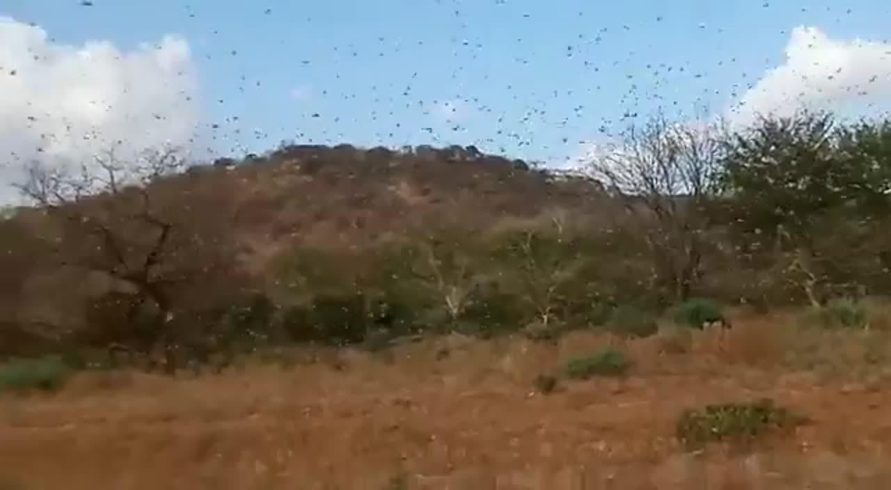 Vídeo Invasión de langostas en Kenia