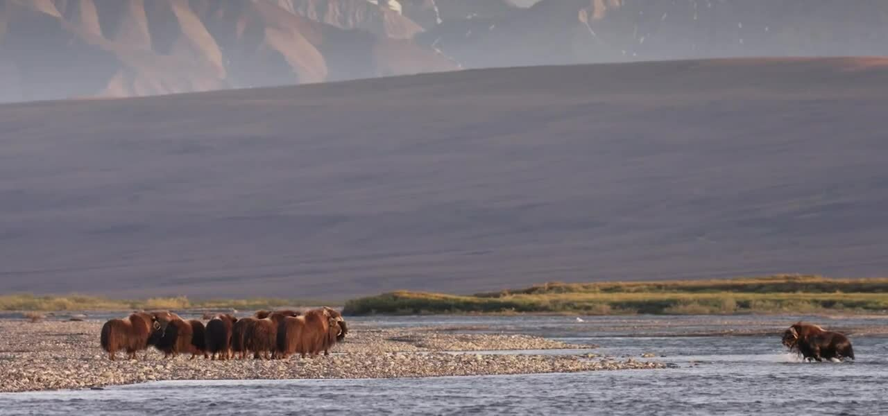 MuskOx Wildlife Page Loop