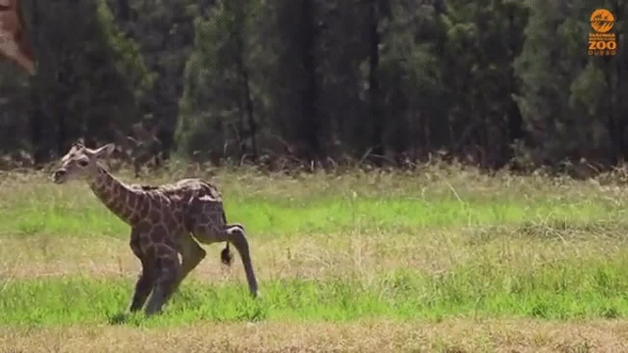Baby giraffe standing up