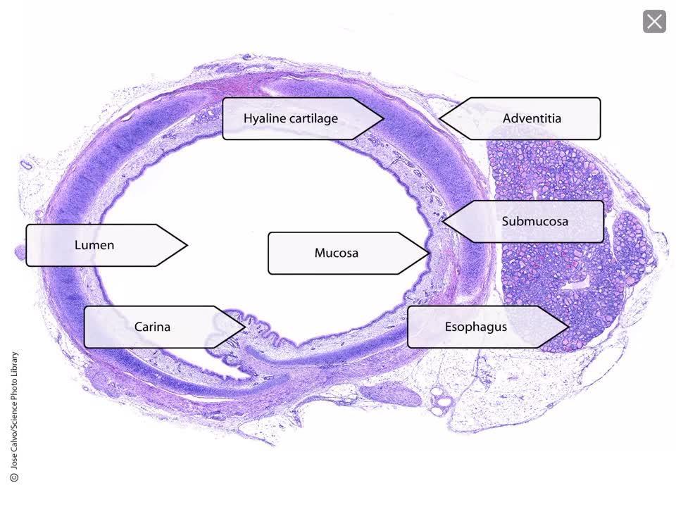 Trachea Wall Histology