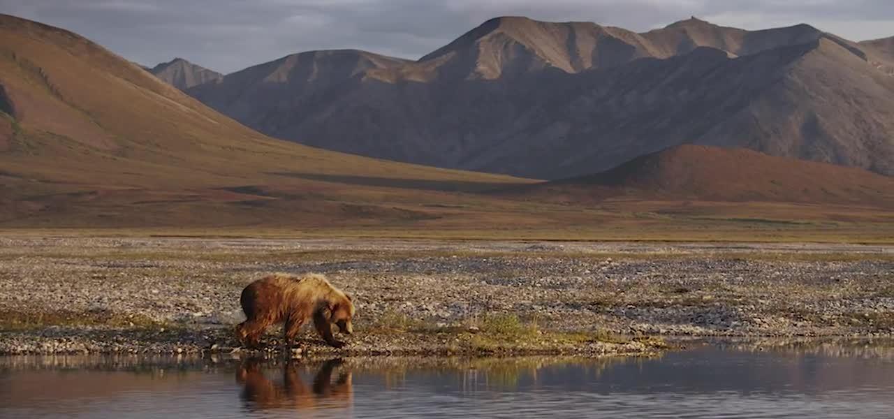Arctic - Wildlife Page Loop