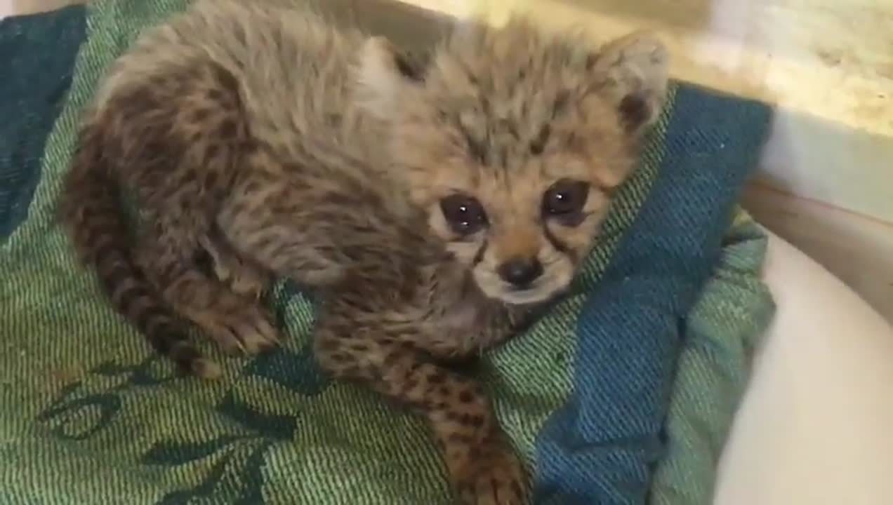 Tiny cheetah cub rescued from the illegal wildlife trade c The Aspinall Foundation